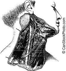 Región lateral profunda del cuello humano, grabado vintage