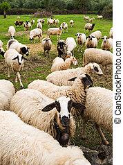 Reloj de ovejas