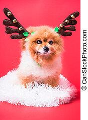 reno, primer plano, navidad, perro, disfraz, venado, chihuahua, retrato, divertido