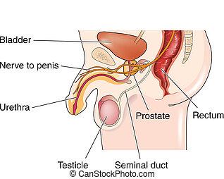 reproductivo masculino