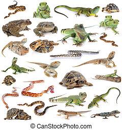 reptil, anfibio