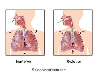 respiración, eps10, ciclo