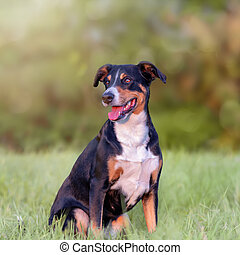 retrato, appenzeller, campo, verano, montaña, sentado, luz, natural, perro