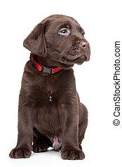 Retrato de cachorros de labrador marrón