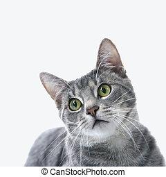 Retrato de gato rayado gris.