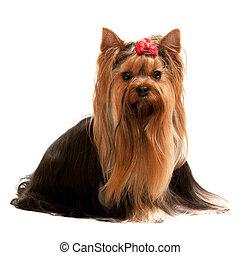 Retrato de un encantador terrier de Yorkshire