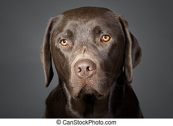 Retrato de un lindo cachorro de labrador de chocolate