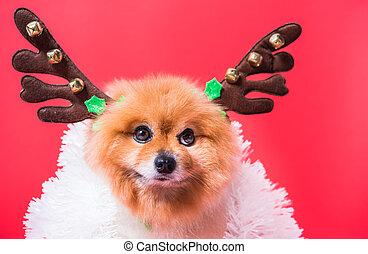 retrato, venado, disfraz, chihuahua, primer plano, reno, divertido, perro, navidad