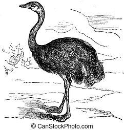 Rhea común o Rhea americana, ilustración clásica grabada