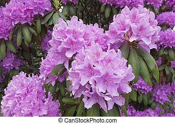 Rhododendron con grandes flores