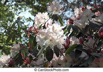 Rhododendron floreciendo