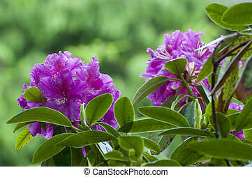 Rhododendron floreciente