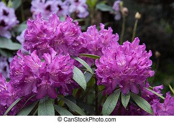 rhododendron., grande, lila, flores, plano de fondo, flores, textura, hermoso