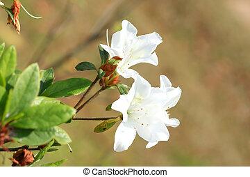 Rhododendron Persil - arbusto floreado blanco
