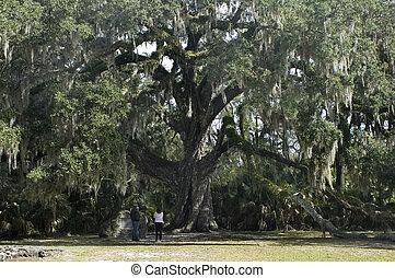 roble, antiguo, árbol