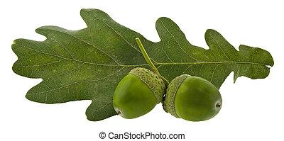roble, blanco, aislado, fondo., hojas, verde, bellotas