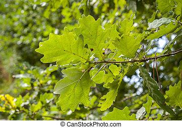 roble, común, quercus, hojas, robur