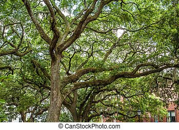 Robles con musgo español en el parque Savannah