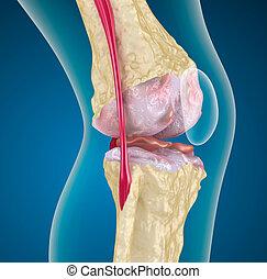 rodilla, joint., osteoporosis