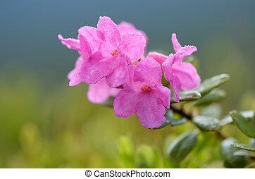 Rododendron floreciente