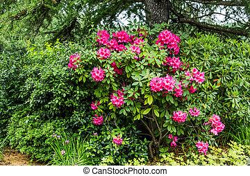 Rododendros rosas en el jardín del bosque