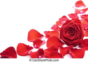rojo, pétalos, aislado, rosa