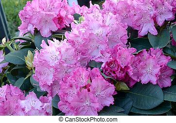 rosa, botánico, arbusto, rododendro, florecer, grande, jardín
