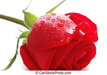 Rosa con gotas de agua aisladas en blanco