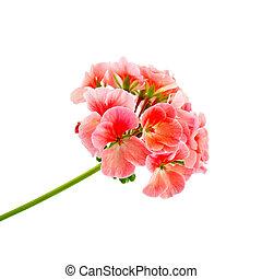 rosa, geranio
