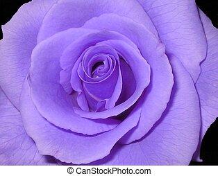 Rosa púrpura