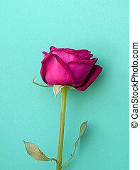 Rosa rosa en el fondo azul