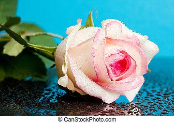 Rosa rosa en fondo azul