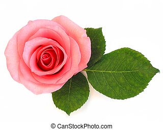 rosa subió, hoja verde, aislado