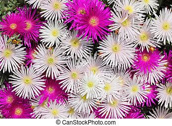 Rosas y blancas, membranas coloridas británicas, flores.