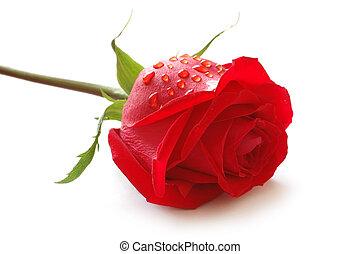 Rosebud con gotas de agua aisladas en blanco