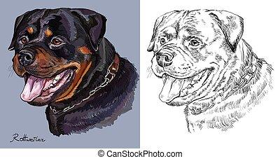 Rottweiler. Colorido y mano monocromo dibujando retrato vectorial