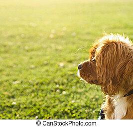 Ruby (Tan) cavaliere rey Charles cachorro