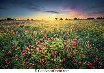 salida del sol, wildflowers, tejas