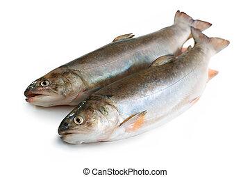salmonid, salvelinus