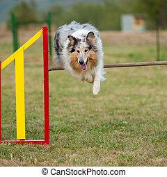 Saltando a Collie en curso de agilidad