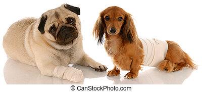 Salud animal. Pug y salchicha con heridas