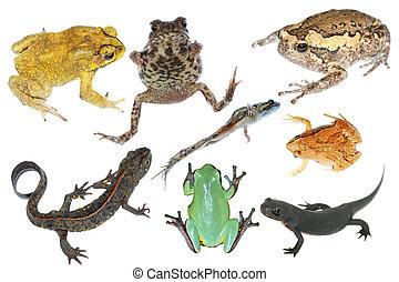 salvaje, anfibio, animal, colección