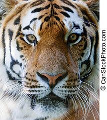 salvaje, tigre, cara