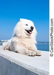 Samoyed, perro esquimal americano