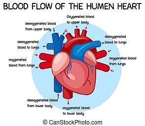 sangre, diagrama, humano, flujo, corazón