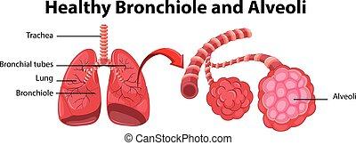 sano, bronchiole, actuación, diagrama, alveoli