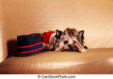 santa, yorkie, -, llevando, perro, sofá, navidad