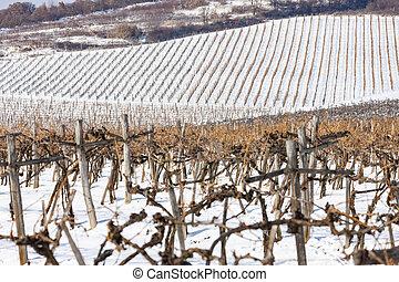 sarospatak, wineyards, hungría, tokaj, región