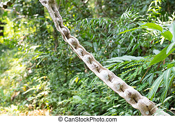 scandens, horsfieldii, sp.), tailandés, (bauhinia, crecer, l., (miq.), hierba, bosque, nombre, thailand., bauhinia, var., escalera, mono, lianas