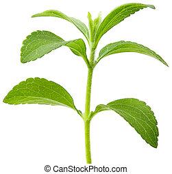 Se cortó la planta de Stevia